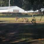 Kangaroos within 25 meters of the cottage.