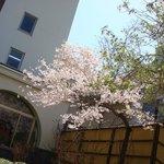 ラウンジ外の桜