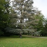 Another Giant Tree in the Park of Schloss Karlsruhe