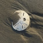 Magnificent huge sand dollars all along the beach.