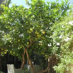 Lemon tree...very pretty