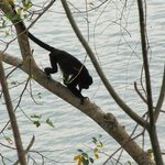 Howler Monkey at Pacific Bay