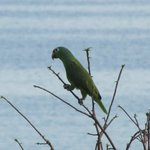 Parrot at Pacific Bay