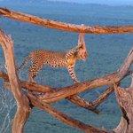 Ngulia Lodge Leopard