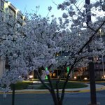 Flowering fruit tree in front of Holiday Inn