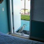 An Egret visits