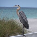 The Blue Heron visit