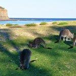 Kangaroos on Pebbly Beach - worth a visit