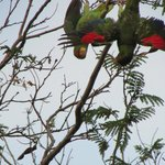 Amazing wildlife at this resort, these parrots came in every night!