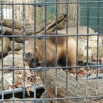 Wolverine at Mill Mountain Zoo- has an eye injury- in small cage
