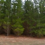 Extensive Pine Forest - looking for Sasquatch (Bigfoot)