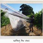 Netting the vines
