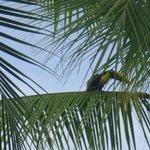 De Toekan in de palm bij het zwembad