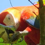 Macaw in tree during the lunch