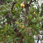 Cashews fruit