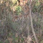 Female Tiger Kanha