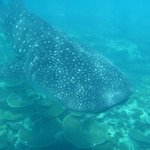 whale shark excursions
