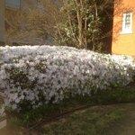 Beautiful azalea bush!