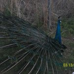 One of 6 peacocks on the acreage