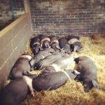 Peaceful Piglets!