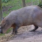 capybara (biggest rat we've seen)
