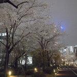 一つ木通り方面に向かう桜並木