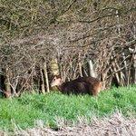 Muntjac Deer in adjoining field