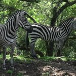 did you know that a group of zebras is called a dazzle?