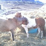 Ponies shedding their winter coats