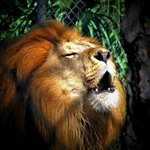 Lion roaring at the zoo