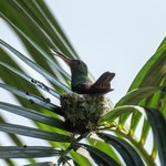 A hummingbird nesting right next to the Manoa restaurant.