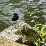 A small black phoebe by the pond
