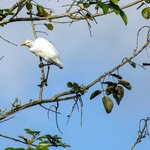 Cattle Egret in the trees across from the hotel restaurant