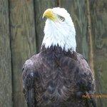 Bald Eagle with damaged wing