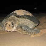 Giant Green turtle laying her eggs on our beach