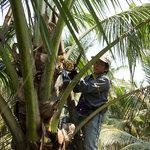 Подрезание цветов кокосовой пальмы
