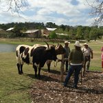Cattle on the property at Lost Pines Resort