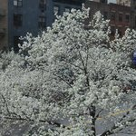 Blossoms Outsided Window