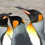 3 x King Penguins