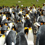 A very small part of the main King Penguin colony