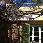 Wisteria blooming on the patio off the dining room