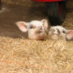Micro-pigs
