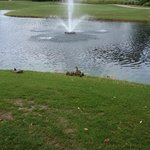 Ducklings on the golf course