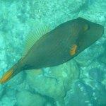 Orange lined Trigger fish