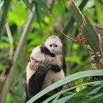 White Faced Capuchin at Copa de Arbol
