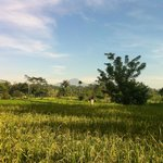 more paddy fields
