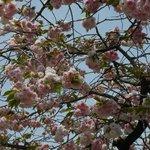 八重桜は満開でした。