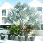 Silver palm tree by pool area
