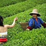 Enshi Tea Garden
