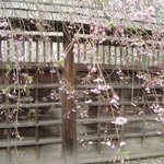Lovely fence and cherry blossom, hanging type